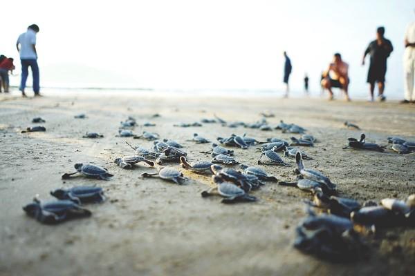 Côn Đảo - Khoảnh khắc diệu kỳ mùa rùa đẻ trứng